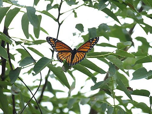 Butterfly 037