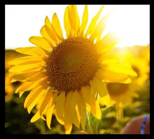 Sunflowerframed