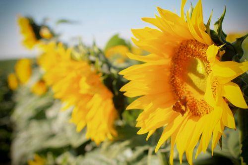Sunfl