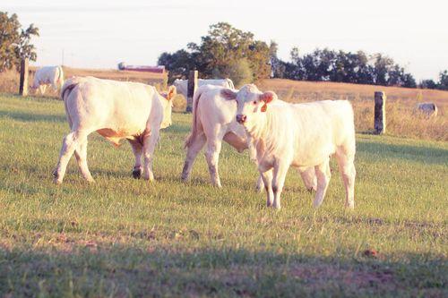 Cowsout-4
