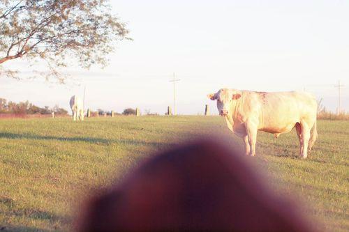 Cowsout-5