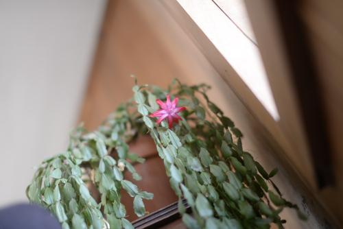Christmascactus-3