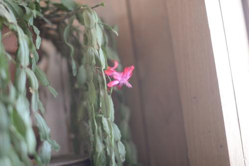 Christmascactus-4