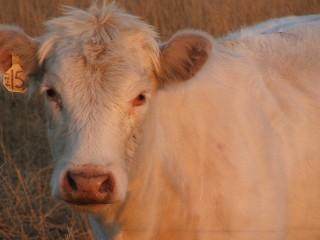 Cows_006
